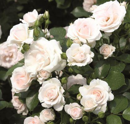 роза аспирин фото и описание