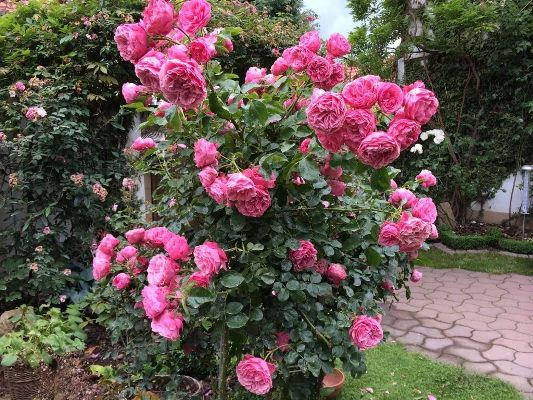 роза леонардо да винчи фото и описание
