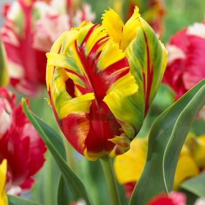 тюльпаны попугайные описание