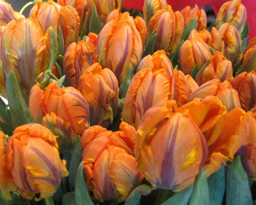 тюльпаны рококо оранж фото