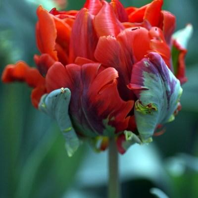 тюльпан рококо дабл фото и описание