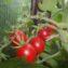 помидоры божья коровка описание