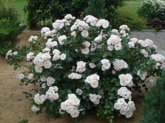 роза аспирин фото