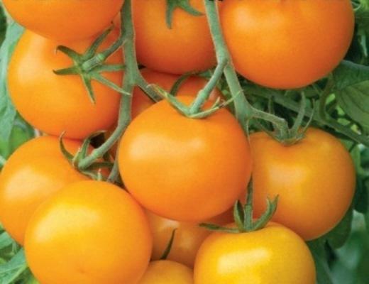 томаты мандариновая гроздь описание