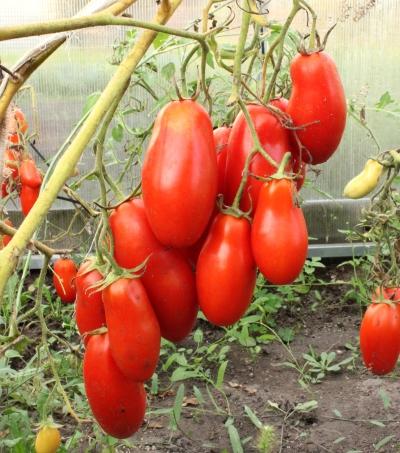 томат пальчики мальвины характеристика и описание сорта