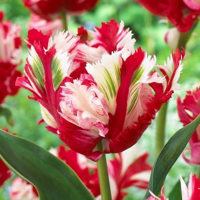 тюльпан эстелла рижнвельд фото