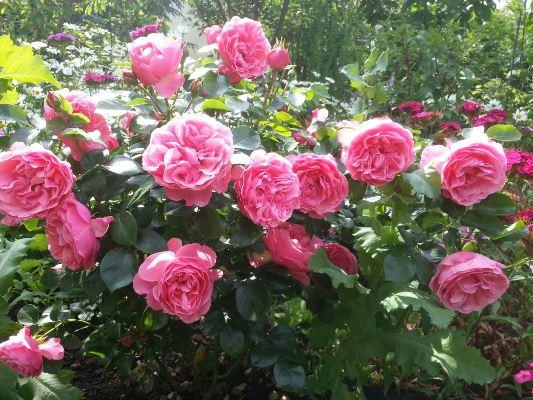 роза леонардо да винчи отзывы