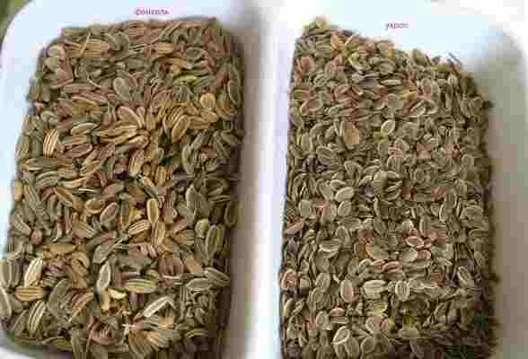 семена укропа фенхеля разница