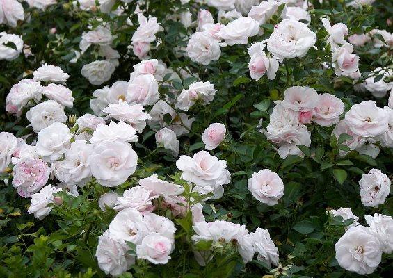 сорт розы аспирин фото и описание