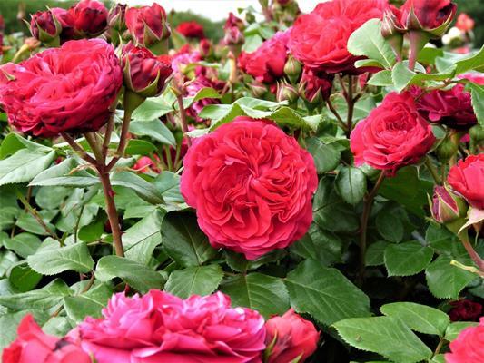 роза ред леонардо да винчи