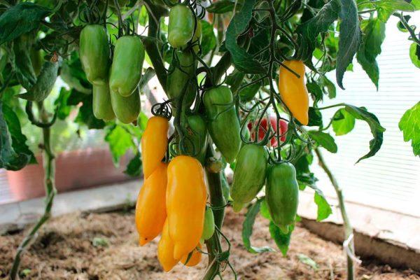томат банановые ноги отзывы фото урожайность