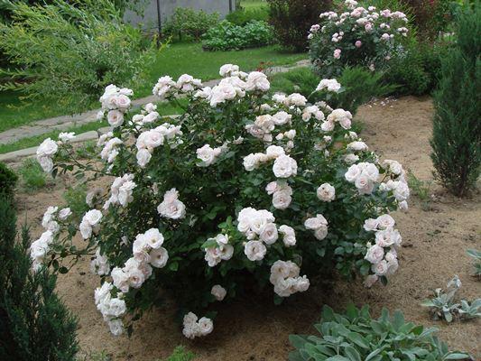 роза аспирин роуз фото и описание