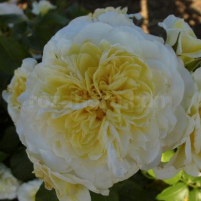 роза белый леонардо да винчи