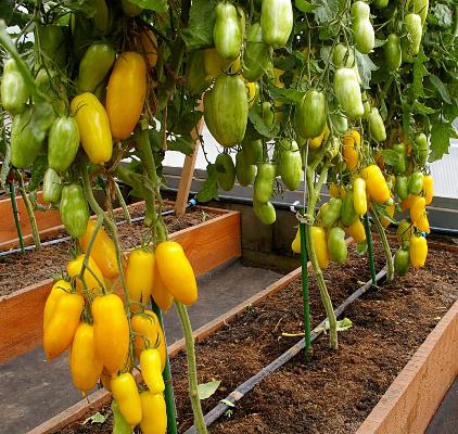 сорт томатов банановые ноги отзывы