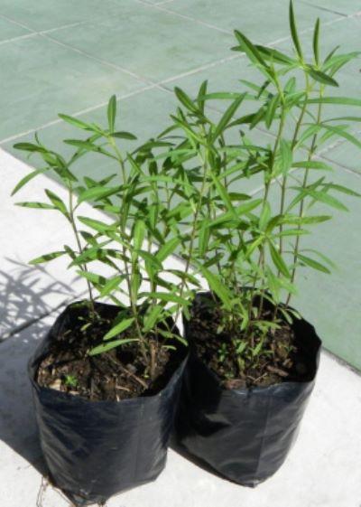 эстрагон выращивание из семян
