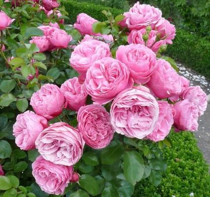 роза полиантовая леонардо да винчи
