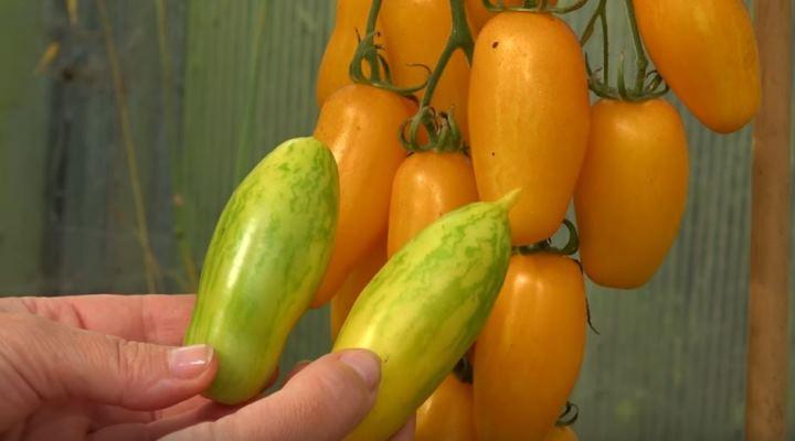 томат банановые ноги отзывы фото
