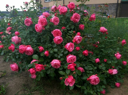полиантовая роза леонардо да