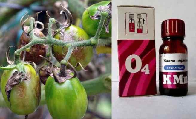 марганцовка от фитофторы на помидорах