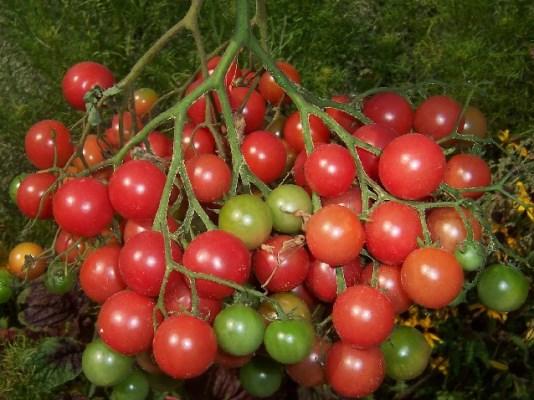 томат виноградная гроздь