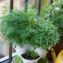 укроп на балконе выращивание