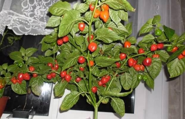 перец хабанеро выращивание в домашних условиях