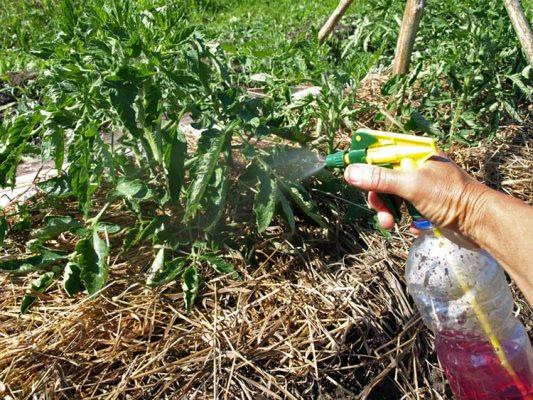 обработка помидор марганцовкой от фитофторы