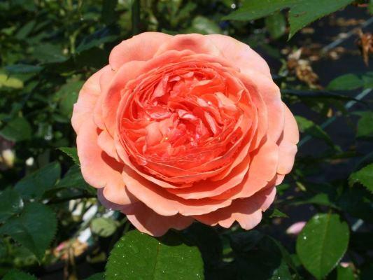 роза чиппендейл фото и описание отзывы
