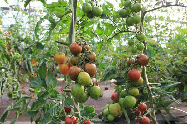 томат полосатый рейс