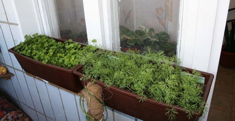 укроп на балконе выращивание пошагово