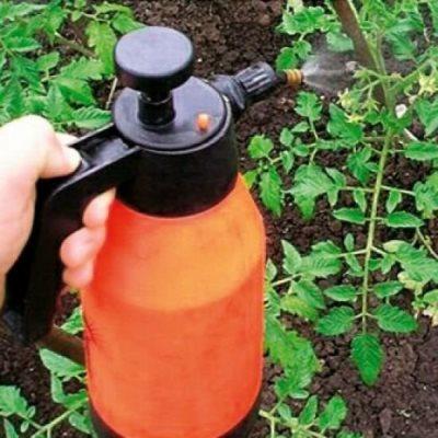 можно ли поливать помидоры марганцовкой от фитофторы