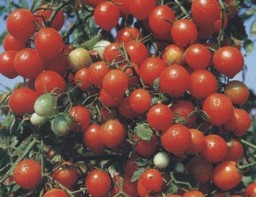томаты виноградная гроздь отзывы
