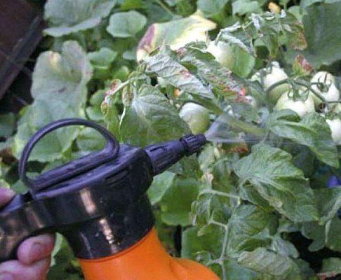 обработка томатов марганцовкой от фитофторы