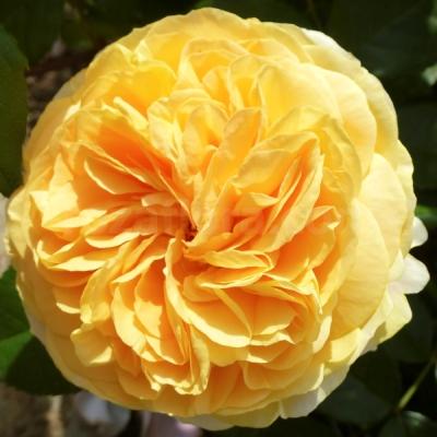 роза чиппендейл голд