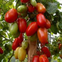 томат агафья отзывы