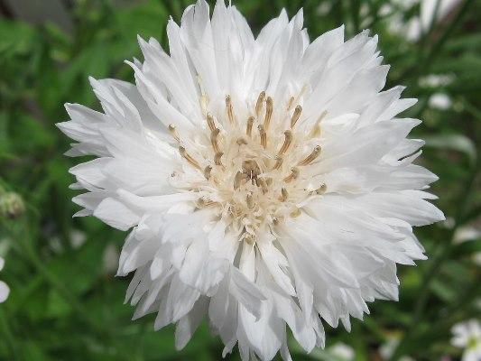 василек махровый белая корона