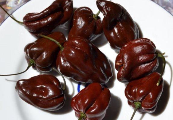перец хабанеро фото шоколадный
