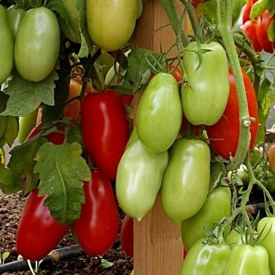 томат агафья f1 отзывы