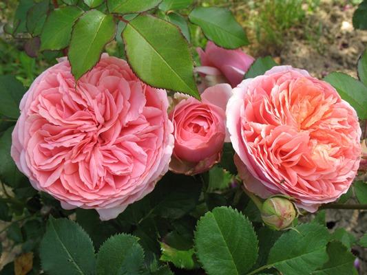 роза чиппендейл отзывы