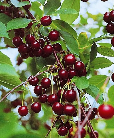сорт вишни владимирская фото и описание сорта