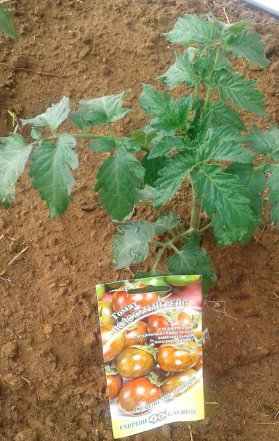 томаты полосатый рейс отзывы фото