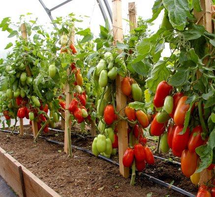 томат агафья описание сорта