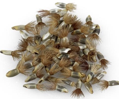васильки махровые семена фото