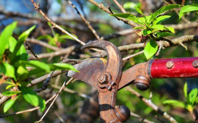 обрезка вишни 1