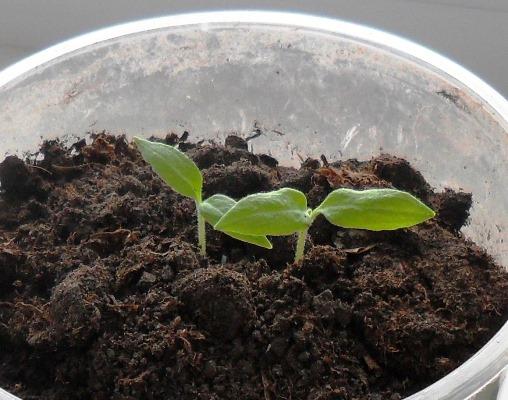 баклажаны рассада выращивание и уход