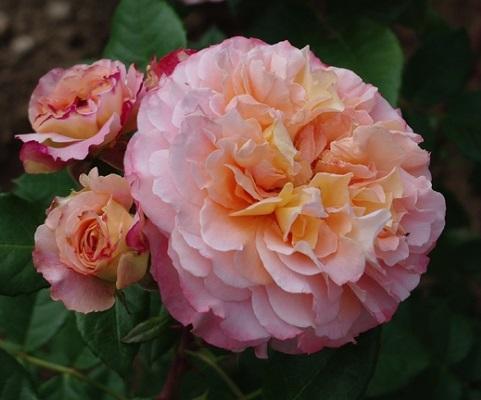 роза августа луиза фото и описание отзывы