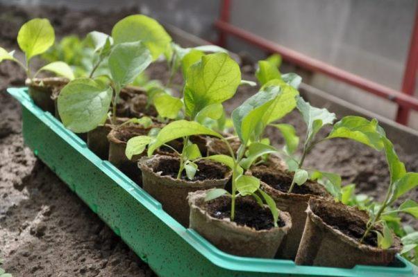 семена баклажанов на рассаду