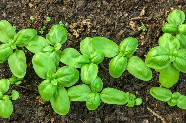 выращивание базилика 1