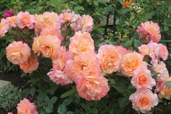 роза августа луиза фото
