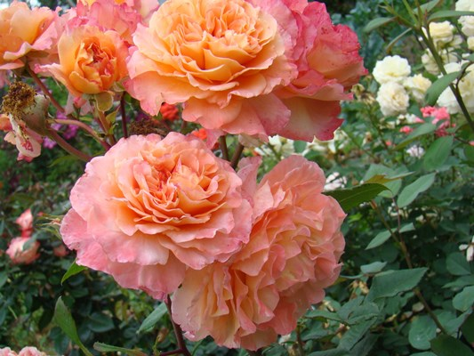 роза августа луиза отзывы